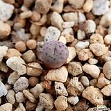 주쿤덤 말로티 TS767 C. jucundum ssp. marlothii TS767