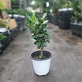 프랑스고무나무 목대중품 35~50cm 119 팬더 펜다 펜더 펜다|