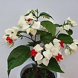 덴드롱(꽃대수형)|