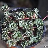 은설(G163)|Sedum spathulifolium