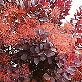 조경수 안개나무 포트  