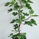 무화과나무 실내열대과일나무 전체높이110cm전후