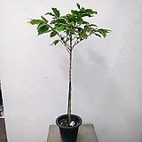 커피나무(대품)