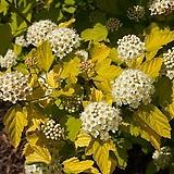 조경수 국수나무_너겟 포트 Hydrangea macrophylla