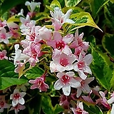 조경수 무늬병꽃 포트 