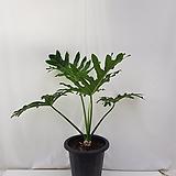 대형 필로덴드론 호프 셀로움 / 호프 셀렘      포트 및 잎 제외 줄기만 60센치 내외 (잎넓이 50센치 이상) 
