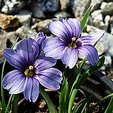 청매화붓꽃