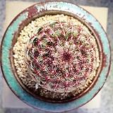 0513 자태양(잘생김)(특)|Echinocereus rigidissimus Purpleus