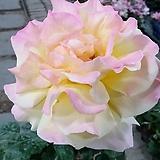 독일장미.4계.글로리아 다이.예쁜노랑,빨강색 그라데이션.old rose 향기.꽃10-11cm.아주예뻐요.정원장미.월동가능.상태굿.늦가을까지 피고 합니다.~~|