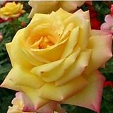 독일장미.4계.글로리아 다이.예쁜노랑,빨강색 그라데이션.old rose 향기.꽃10-11cm.아주예뻐요.정원장미.월동가능.상태굿.늦가을까지 피고 합니다.~|