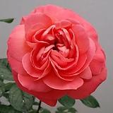 독일장미.4계.퀸오브하트.예쁜샬몬오렌지.old rose 향기.꽃8cm.아주예뻐요.정원장미.월동가능.상태굿.늦가을까지 피고 합니다.~|