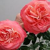 독일장미.4계.퀸오브하트.예쁜샬몬오렌지.old rose 향기.꽃8cm.아주예뻐요.정원장미.월동가능.상태굿.늦가을까지 피고 합니다.~~|
