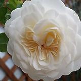 영국장미.대품.트랜퀼리티.old rose 향기강함.고급스런베이지.크림색.아이보리색(꽃형 예쁜형).꽃송이가 큼.울타리.넝쿨장미.월동가능.상태굿..늦가을까지 피고 합니다...|Echeveria J.C.Van Keppel