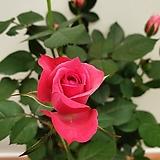 [진아플라워] 꽃의여왕 계절장미 120 