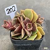 Echeveria Zestar0514-202