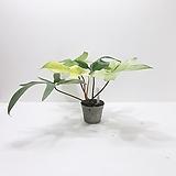 칼라 레드비오리 (중) *쟈스민 식물*