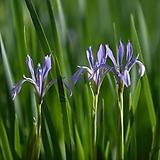 (100립)타래붓꽃 씨앗 