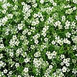 (1000립)안개초흰색种子