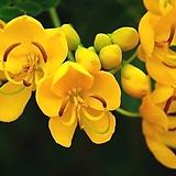 사계황호접(꽃대수형)|