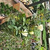 장미 특A-12번 향기장미 아이보리|