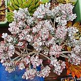 방울복랑금 자연군생 대품|Cotyledon orbiculata cv variegated