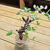 미라블아프리카식물|