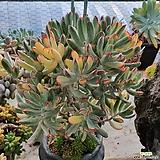원종방울복랑금|Cotyledon orbiculata cv variegated