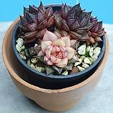 모노케로티스 환엽 복륜금|Echeveria Monocerotis
