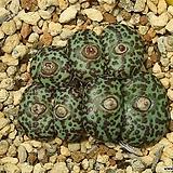 Obcordellum Ursprungianum 우르스프런기아넘 