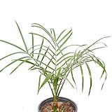 미니피닉스야자 피닉스야자 야자 실내식물 공기정화식물|