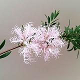 핑크브러쉬(묵은주 꽃대수형)|