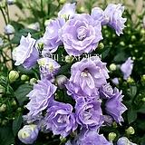 장미캄파눌라(꽃대가득)-소품