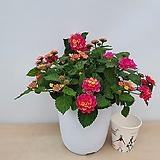 란타나(꽃대중품)|