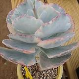 은파금|Cotyledon undulata