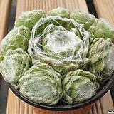 거미줄 바위솔|Sempervivum arachnoideum tomentosum