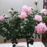 스템장미.스탠드장미.대품.독일장미 시리즈.!!!홈&가든.예쁜퓨어핑크색!!!.old rose 향기.꽃크기7-8cm.(꽃형 예쁜형).월동가능.상태굿..늦가을까지 피고 합니다..~~|