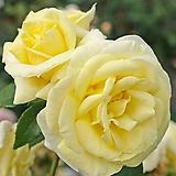 스템장미.스탠드장미.독일장미 시리즈.!!!리모나.예쁜 라이트 엘로우색!!!.old rose 향기.꽃크기8-10cm.(꽃형 예쁜형).월동가능.상태굿..늦가을까지 피고 합니다..~|