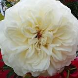 영국장미.대품.트랜퀼리티.old rose 향기강함.고급스런베이지.크림색.아이보리색(꽃형 예쁜형).꽃송이가 큼.울타리.넝쿨장미.월동가능.상태굿..늦가을까지 피고 합니다.~|