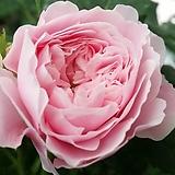 독일장미.자킷카르티어.old rose 향기강함.예쁜핑크색.예쁜모란꽃형예뻐요!(꽃형 예쁜형).울타리.넝쿨장미.월동가능.상태굿..늦가을까지 피고 합니다..|