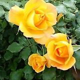 4계명품수입넝쿨장미.사하라(예쁜노랑색에서 주황색으로 변함).울타리.넝쿨장미.월동가능.상태굿.늦가을까지 피고 합니다.~~|