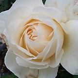 4계피스장미.마운트샤스타.흰색.백색.꽃향기좋음.꽃이 큰형.아주예뻐요.울타리장미.월동가능.상태굿.늦가을까지 피고 합니다.|