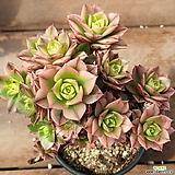 까라솔 146|Aeonium decorum f variegata