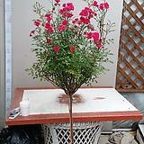 스템장미.스탠드장미.투폴리나 시리즈.!!!예쁜진자주빨강색!!!.old rose 향기.(꽃형 예쁜형).월동가능.상태굿..늦가을까지 피고 합니다..~|