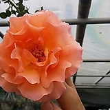 4계명품수입장미.환타오렌지색.old rose향기.예쁜오렌지색.예뻐요!(꽃형 예쁜형).울타리.넝쿨장미.월동가능.상태굿..늦가을까지 피고 합니다..|