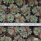 Echeveria Laulensis