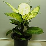마리안느2번-공기정화식물미세먼지제거-동일상품발송