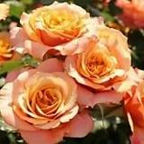 독일장미.4계.라 빌라 코타.예쁜환타오렌지색.old rose 향기.꽃10cm.아주예뻐요.정원관목장미.월동가능.상태굿.늦가을까지 피고 합니다.~|