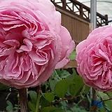 독일장미.4계.로젠그래핀 마리 앙리에뜨.예쁜핑크색.old rose 향기.꽃8-10cm.아주예뻐요.정원관목장미.월동가능.상태굿.늦가을까지 피고 합니다.|