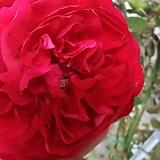 독일장미.플로렌티나.old rose 향기.예쁜 빨강색.(꽃형 예뻐요!).꽃10cm.울타리.넝쿨장미.월동가능.상태굿..늦가을까지 피고 합니다.~|
