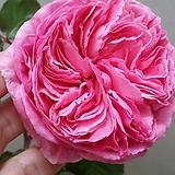 독일장미.키스미케이트.old rose 향기.예쁜 진한핑크색.(꽃형 예뻐요!).꽃8~10cm.울타리.넝쿨장미.월동가능.상태굿..늦가을까지 피고 합니다.~|